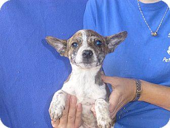 Cattle Dog/Australian Shepherd Mix Puppy for adoption in Oviedo, Florida - Nestle