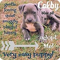 Adopt A Pet :: Colby - Fenton, MI