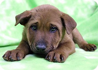 Retriever (Unknown Type)/Shar Pei Mix Puppy for adoption in Westminster, Colorado - Mel