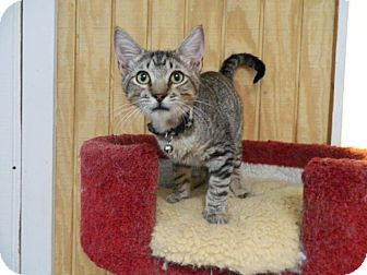 Domestic Shorthair Cat for adoption in The Colony, Texas - Peyton