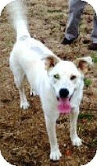 German Shepherd Dog Mix Dog for adoption in Ridgewood, New York - SNOWBALL