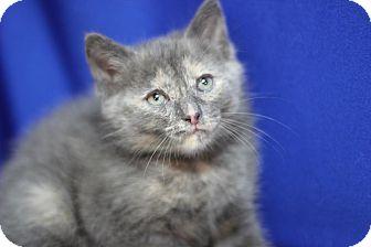 Domestic Shorthair Kitten for adoption in Midland, Michigan - Jinxia