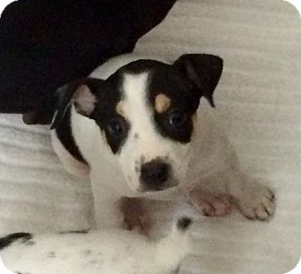 Fox Terrier (Toy)/Rat Terrier Mix Puppy for adoption in Hialeah, Florida - Duncan