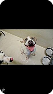 American Pit Bull Terrier Mix Dog for adoption in Mandeville, Louisiana - Simon