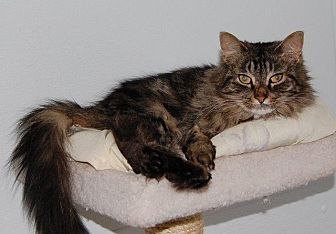 Domestic Longhair Cat for adoption in Brainardsville, New York - Beauty