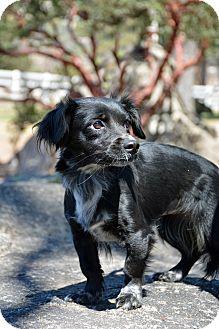 Chihuahua Mix Dog for adoption in Mountain Center, California - Fajita