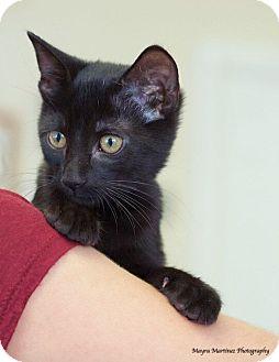 Domestic Shorthair Kitten for adoption in Huntsville, Alabama - Parker