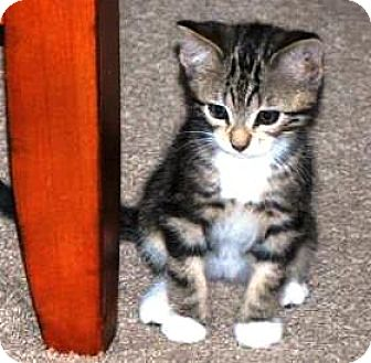Domestic Shorthair Kitten for adoption in Castro Valley, California - Boots