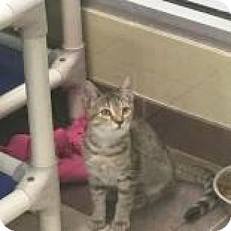 Domestic Shorthair Kitten for adoption in Columbus, Georgia - Tuna 3961