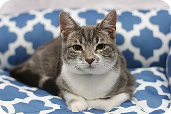 Domestic Shorthair Kitten for adoption in San Dimas, California - Drago