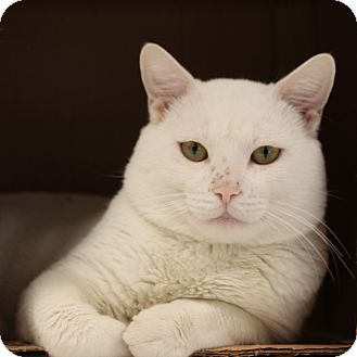 Domestic Shorthair Cat for adoption in Naperville, Illinois - Toby