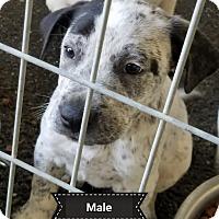 Adopt A Pet :: SETTER/LAB X - Gustine, CA