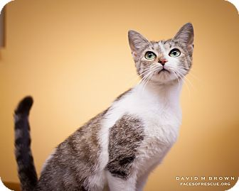 Domestic Shorthair Cat for adoption in Circleville, Ohio - Katriss