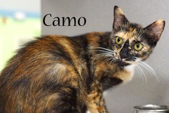 Domestic Shorthair/Domestic Shorthair Mix Cat for adoption in Gulfport, Mississippi - Camo