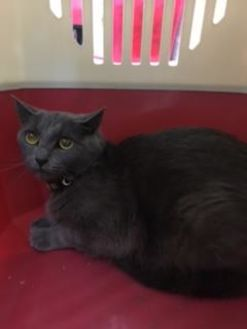 Russian Blue/Domestic Shorthair Mix Cat for adoption in Salem, Oregon - Tally