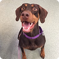 Doberman Pinscher Dog for adoption in Louisville, Kentucky - Rosie