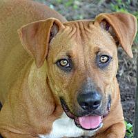 Hound (Unknown Type) Mix Dog for adoption in Brooksville, Florida - 10312057 MARKIE