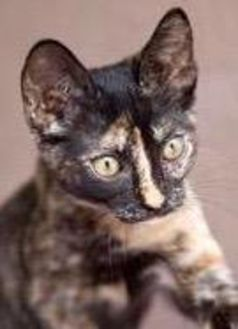 Domestic Shorthair/Domestic Shorthair Mix Cat for adoption in Lihue, Hawaii - Setter