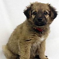 Adopt A Pet :: Apple - Westminster, CO