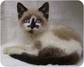 Snowshoe Kitten for adoption in Bloomingdale, New Jersey - Kabob