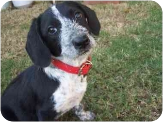 Pointer Mix Puppy for adoption in Poway, California - Yoshi