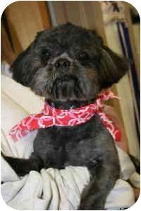 Shih Tzu Mix Dog for adoption in Saint Charles, Missouri - Tyler