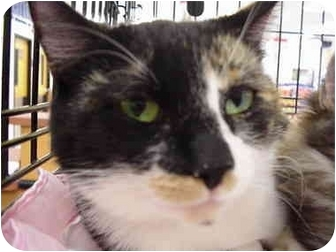 Calico Cat for adoption in The Colony, Texas - Lizzie