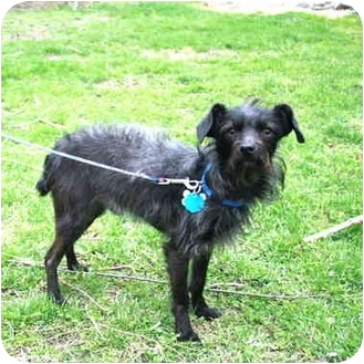 Terrier (Unknown Type, Small)/Poodle (Miniature) Mix Dog for adoption in Portsmouth, Rhode Island - Timmy