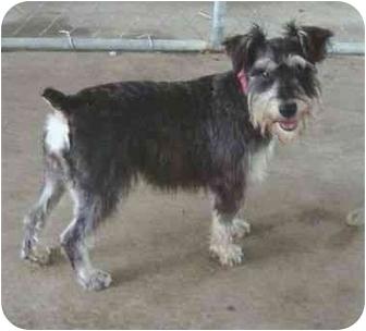 Schnauzer (Standard) Mix Dog for adoption in Portland, Maine - Tinkerbell