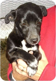Terrier (Unknown Type, Small)/Chihuahua Mix Puppy for adoption in Bakersfield, California - Florence