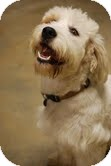 Petit Basset Griffon Vendeen Dog for adoption in Waterbury, Connecticut - Rags