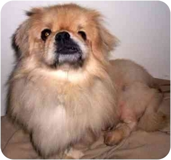 Pekingese Dog for adoption in Mays Landing, New Jersey - Simba