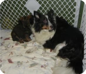 Sheltie, Shetland Sheepdog Dog for adoption in Antioch, Illinois - Eve