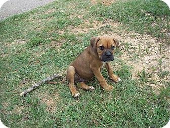Boxer Mix Puppy for adoption in Adamsville, Tennessee - Beck