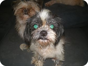 Shih Tzu Dog for adoption in Apex, North Carolina - Pan'Ze