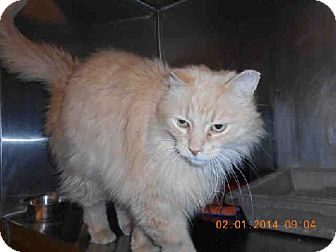 Domestic Mediumhair Cat for adoption in Indianapolis, Indiana - BRODY