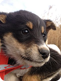Border Collie/Blue Heeler Mix Puppy for adoption in Westminster, Colorado - Fire