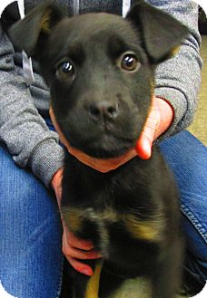 Alaskan Malamute/Rottweiler Mix Puppy for adoption in Lloydminster, Alberta - Quincey