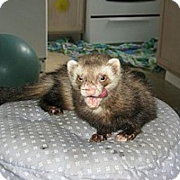 Adopt A Pet :: Davy - South Hadley, MA