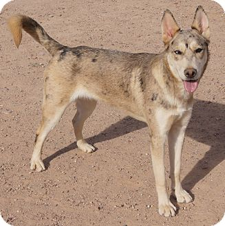 Australian Shepherd/Catahoula Leopard Dog Mix Dog for adoption in Apache Junction, Arizona - SPIRIT