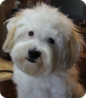 Maltese/Poodle (Miniature) Mix Dog for adoption in San Pedro, California - Dustin