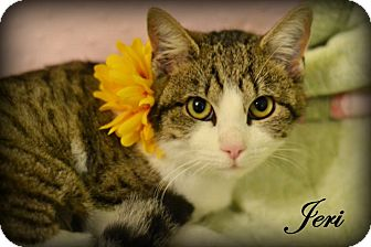 Domestic Shorthair Cat for adoption in Mansfield, Texas - Jeri