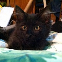 Domestic Mediumhair Kitten for adoption in Tustin, California - Gypsy Rose
