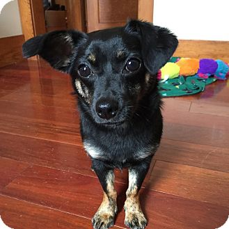 Dachshund/Chihuahua Mix Dog for adoption in Elgin, Illinois - *Milo