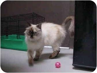 Himalayan Cat for adoption in Davis, California - Brandi
