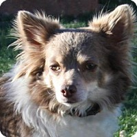 Chihuahua Mix Dog for adoption in Colorado Springs, Colorado - Milton