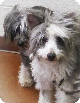 Chinese Crested Dog for adoption in Sedona, Arizona - Charles
