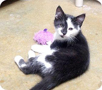 Domestic Shorthair Kitten for adoption in Creston, British Columbia - Jinx