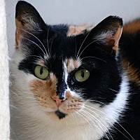 Domestic Shorthair Cat for adoption in Norwalk, Connecticut - Charlotte