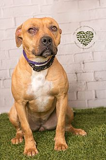 Mastiff/Labrador Retriever Mix Dog for adoption in Inglewood, California - Penny Lane